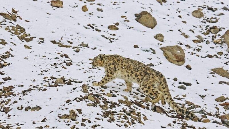 Schneeleopard in Ladakh © Diamir