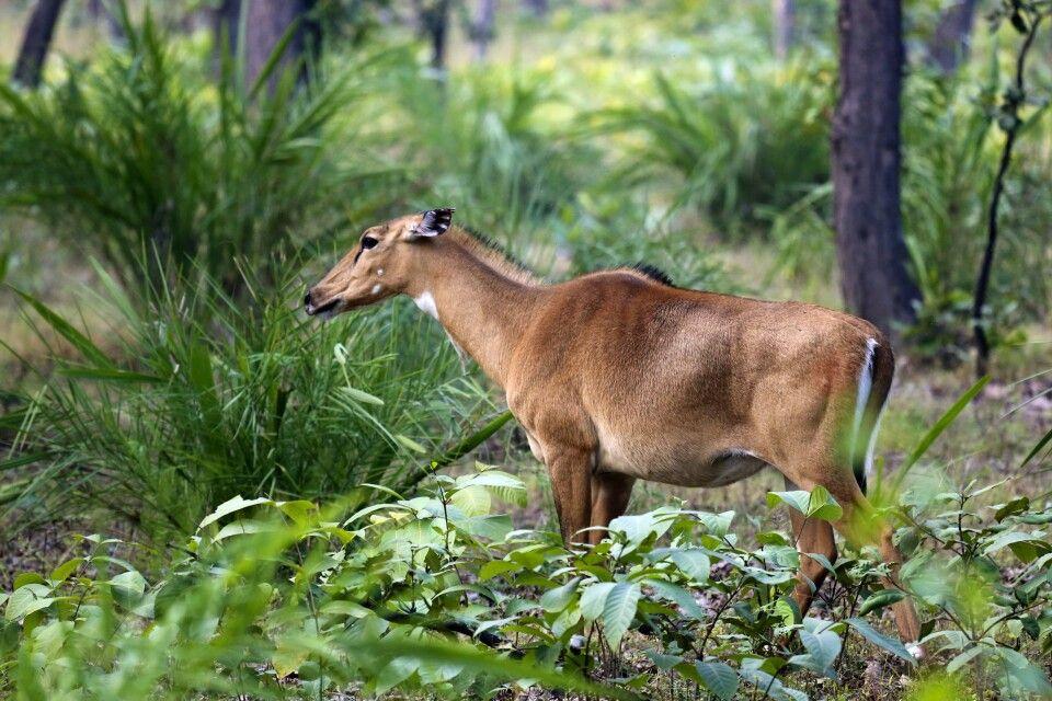 Bandhavgarh NP