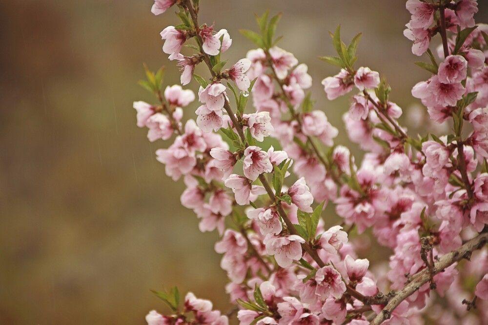 Die Aprikosenblüte gehört zu den schönsten Jahreszeiten im Karakorum.