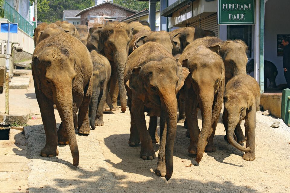 Elefantenwaisenhaus bei Colombo