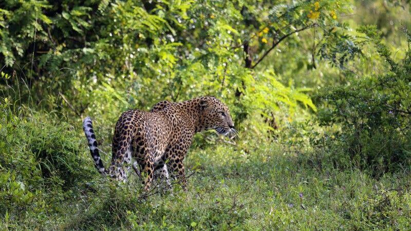 Leopard © Diamir
