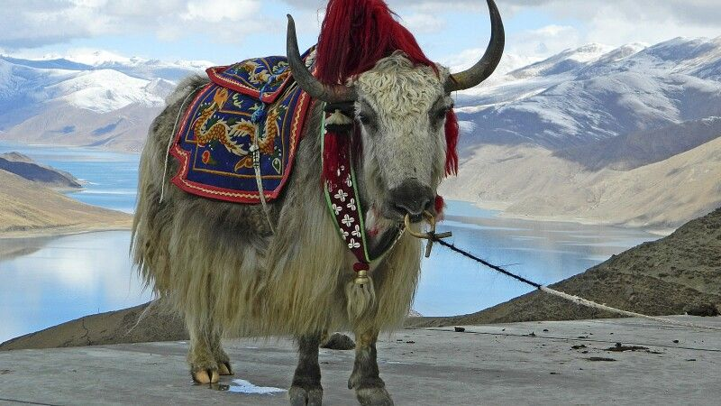 Yak am Yamdrok-See © Diamir