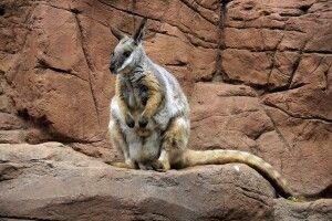 Känguru auf Entdeckungstour