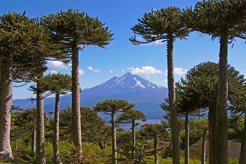 Araukarienwald vor dem Vulkan Llaima