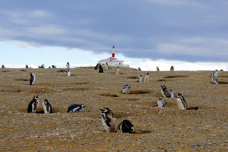 Magellan-Pinguinkolonie auf der Isla Magdalena bei Punta Arenas