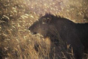 Löwe im hohen Savannengras