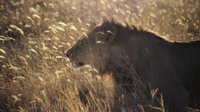 Löwe im hohen Savannengras © Diamir