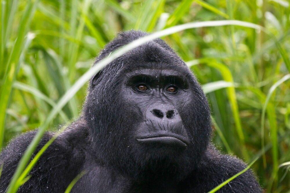Der durchdringende Blick eines Gorillas