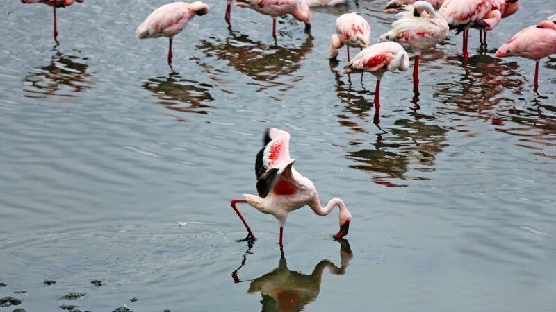 Flamingo © Diamir
