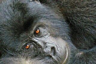 Gorillas sind intelligente und friedliche Geschöpfe