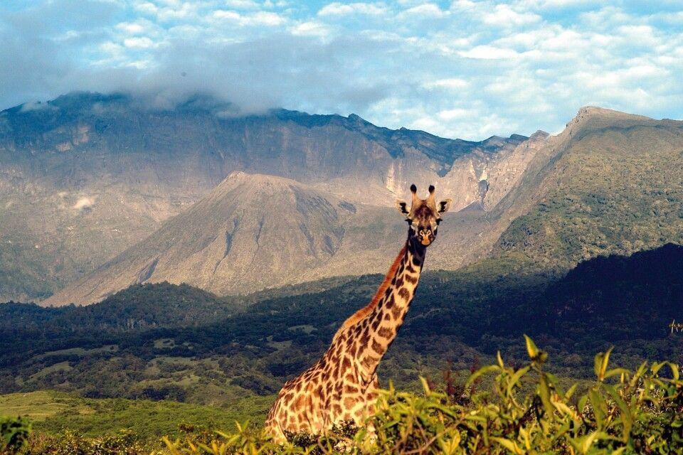 Giraffe vor dem Mount Meru