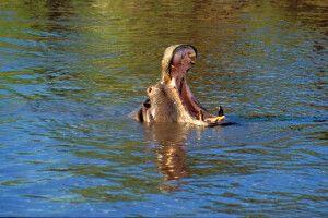 Nilpferd im Wasser mit offnem Maul