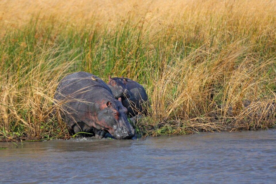 Nilpferde am Fluss