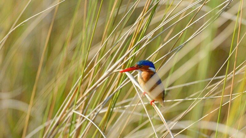 Malachit-Eisvogel, Okavango-Delta © Diamir