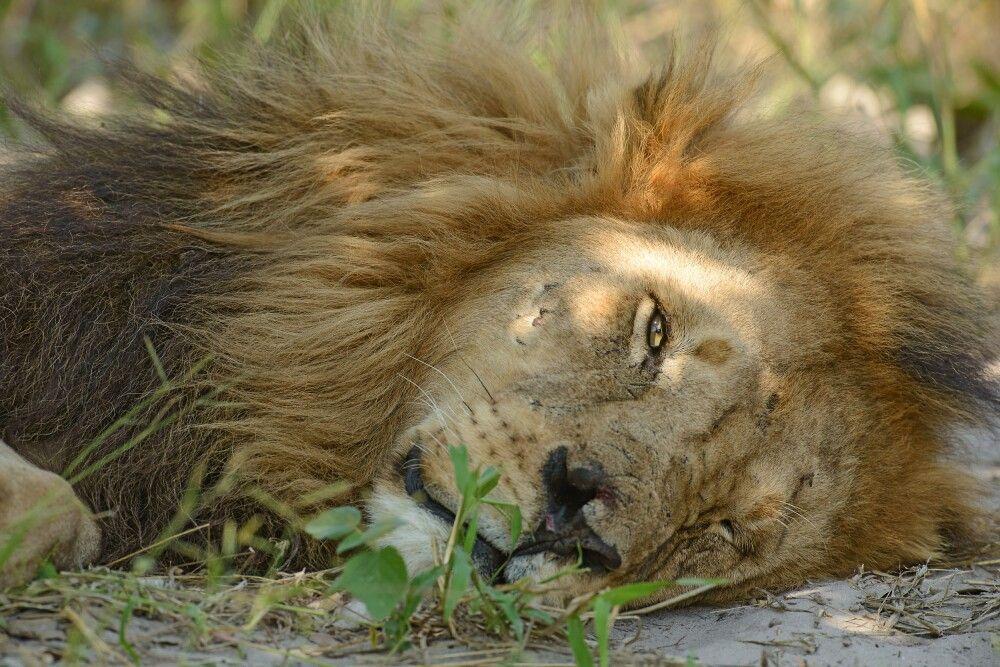 Löwenmännchen, Moremi