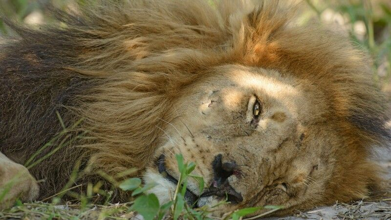 Löwenmännchen, Moremi © Diamir