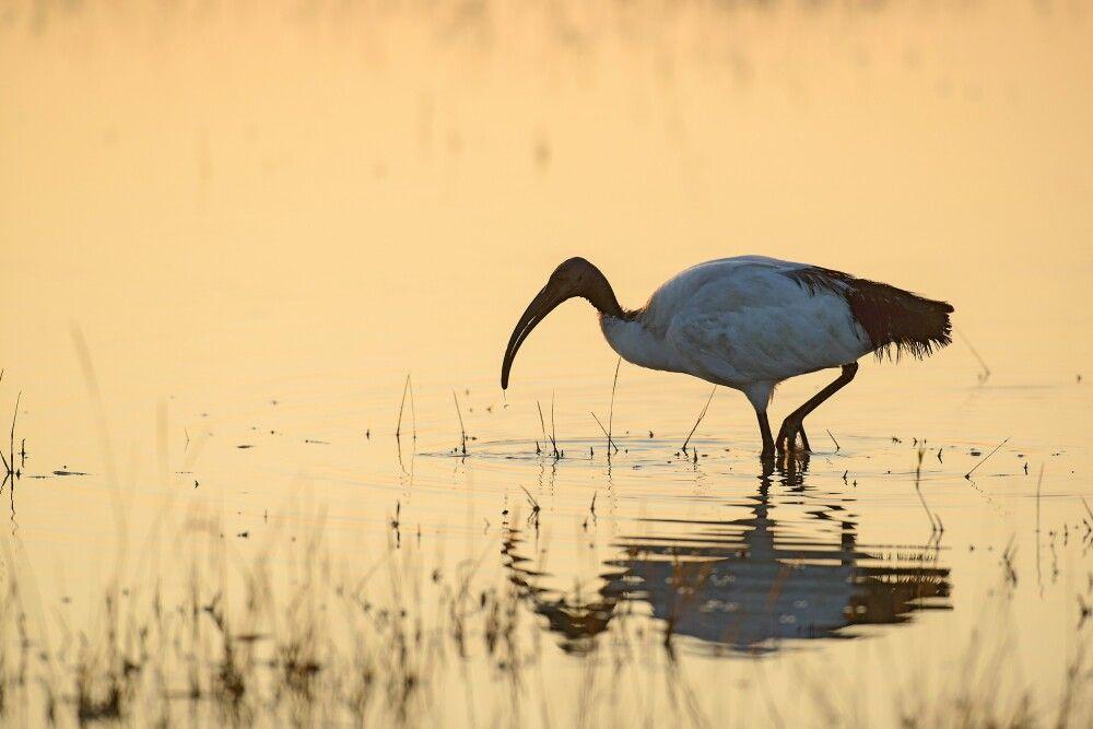 Heiliger Ibis im morgendlichen Gegenlicht, Moremi Game Reserve