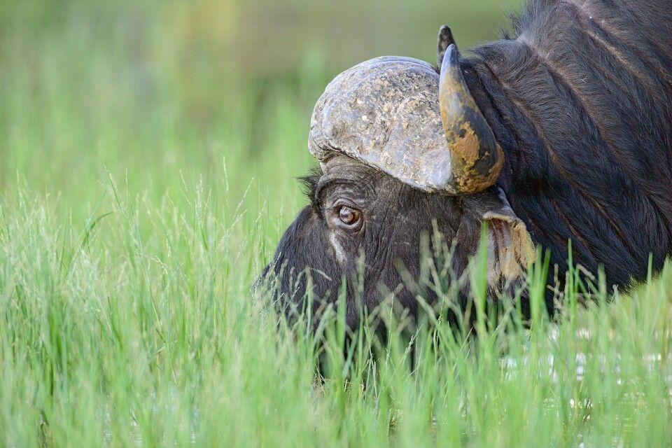 grasender Büffel