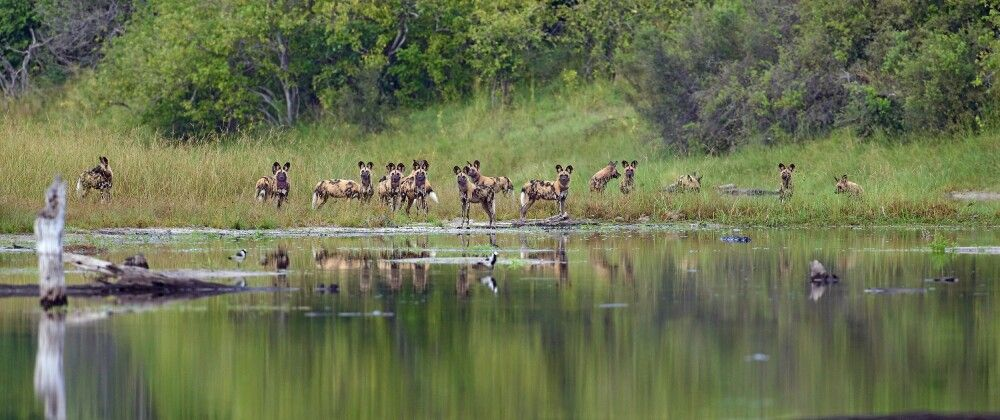 Afrikanische Wildhunde