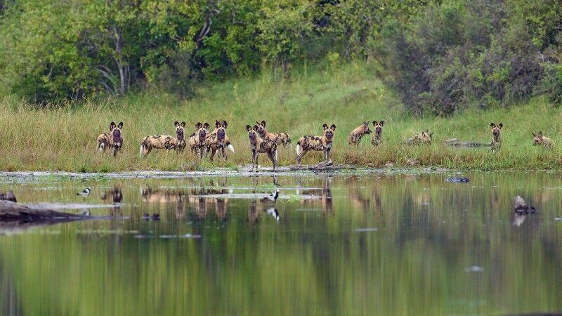 Afrikanische Wildhunde © Diamir