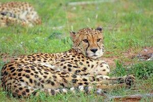 Geparden hautnah