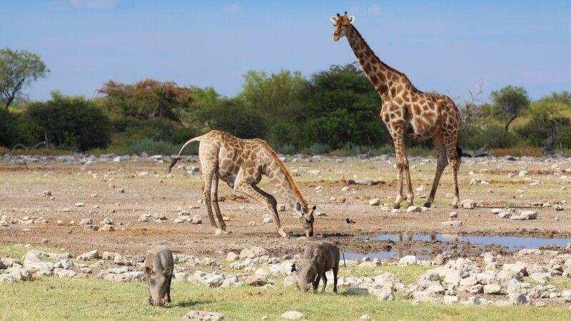 Tiere am Wasserloch Etosha Nationalpark © Diamir
