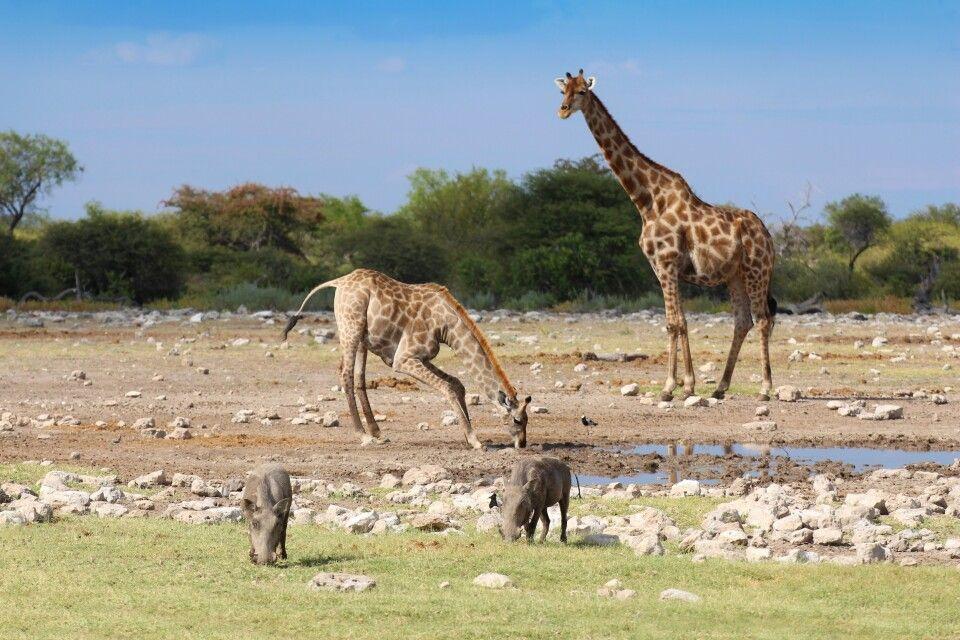Tiere am Wasserloch im Etosha-Nationalpark