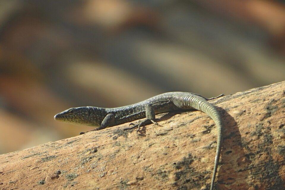 Gecko in Funchal