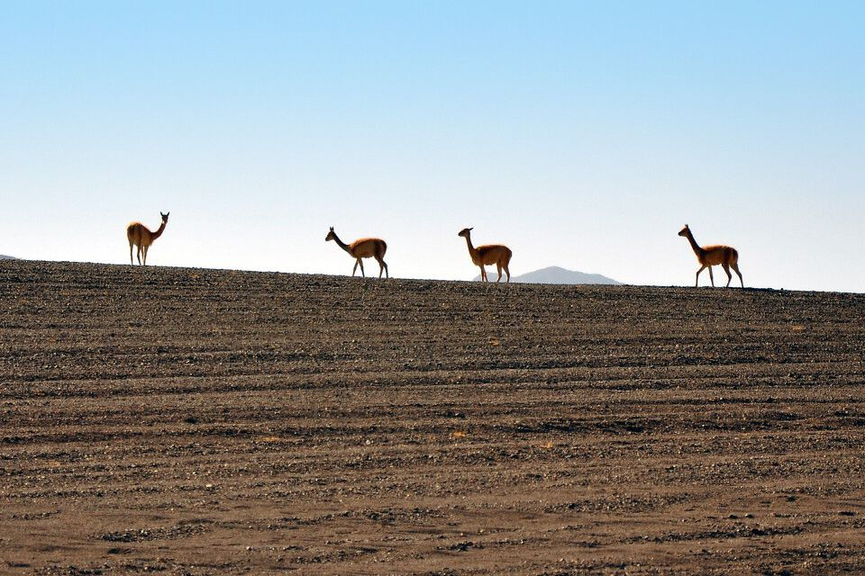 Vicuña im Altiplano