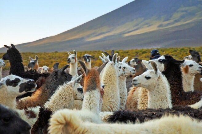 Lamas im kargen Altiplano