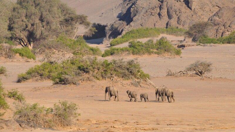 Die seltenen Wüstenelefanten © Diamir