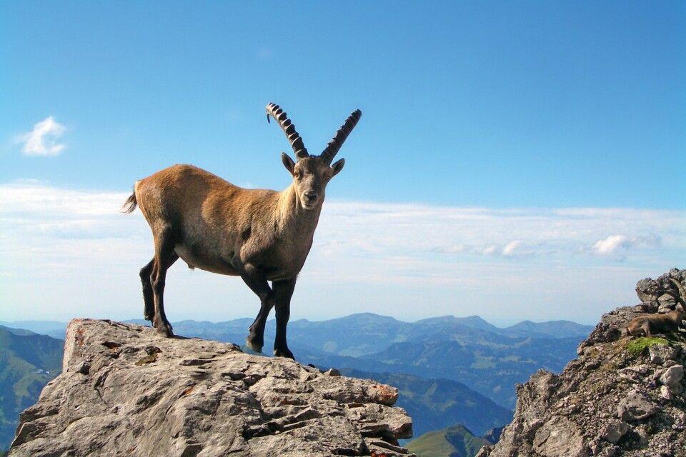 Neugieriger Steinbock blinzelt den Bergfexen zu