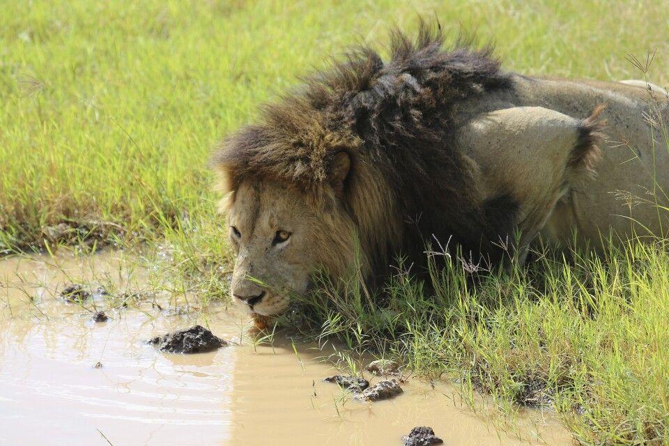 Trinkender Löwe