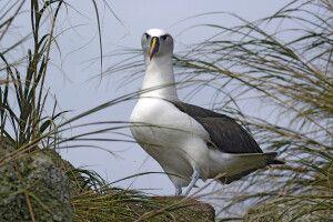 Tristan da Cunha - Albatros