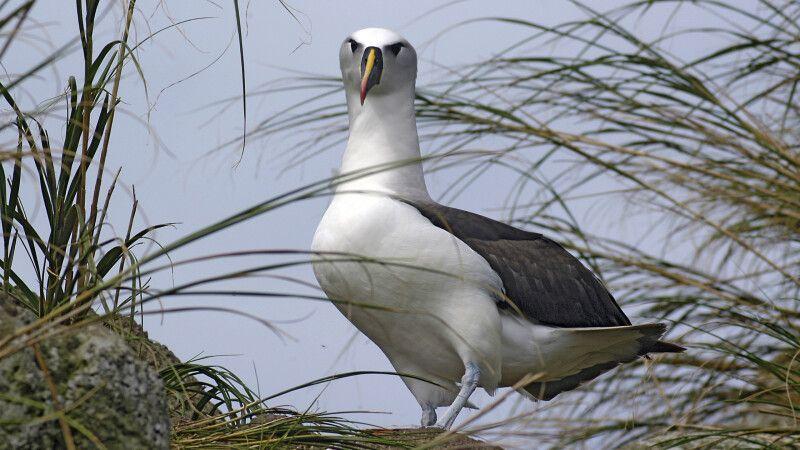 Tristan da Cunha – Albatros © Diamir