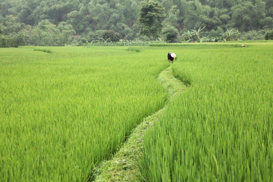 Im Reisfeld in Vietnam