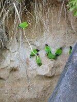 Sittichlecke im Dschungel