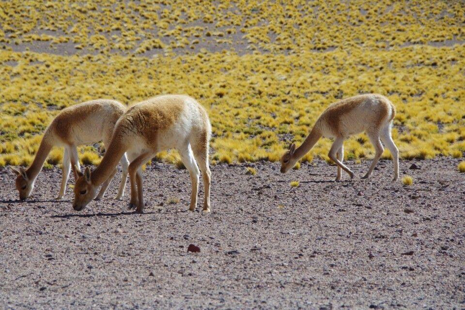 Drei Vicuñas auf Nahrungssuche