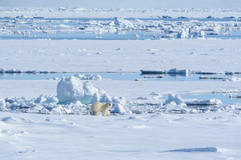 Wo Eis ist, sind Eisbären nicht weit weg