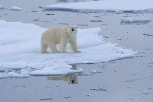 Doppelt hält besser: ein Eisbärmännchen und seine Spiegelung