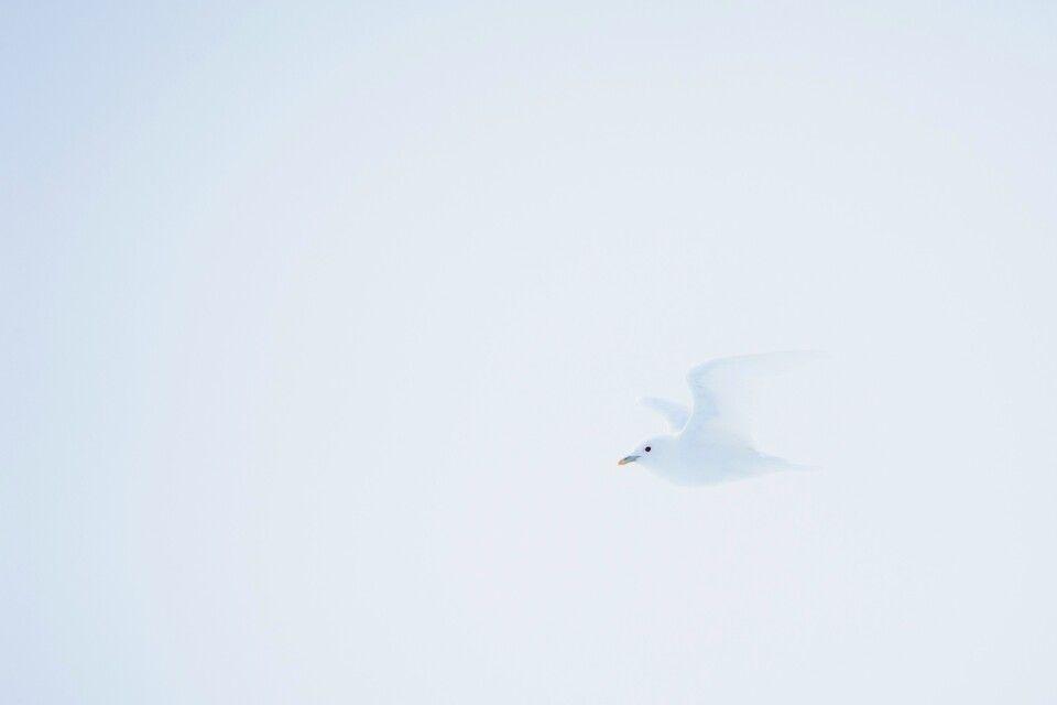 Engel überm Eis: Elfenbeinmöwe im Nebel