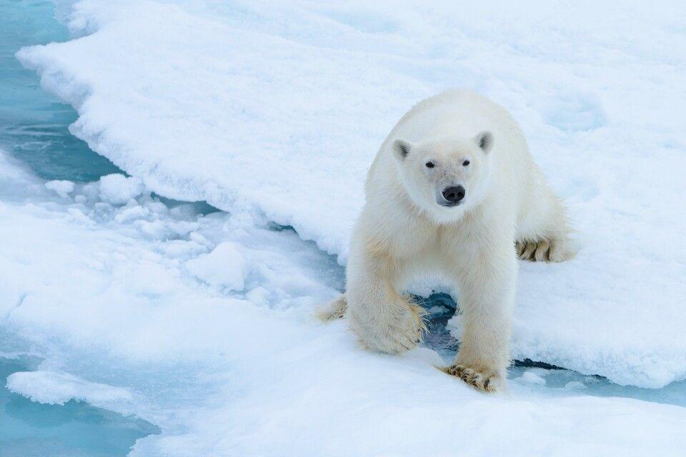 Eisbärige Neugier: junges Männchen ganz nah am Schiff