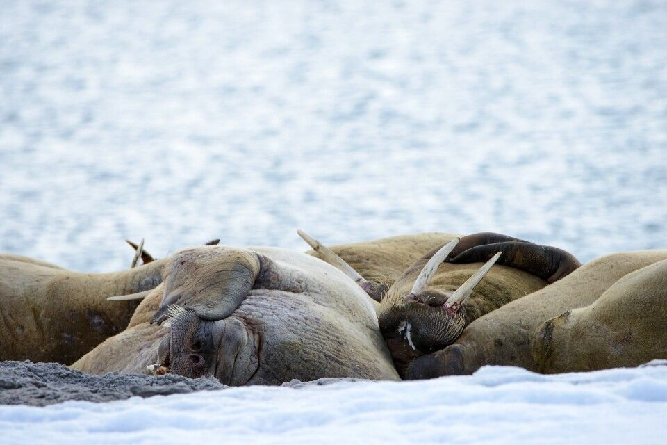 Entspannte Walrosse