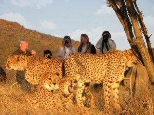 Okonjima AfriCat, Gepardentracking