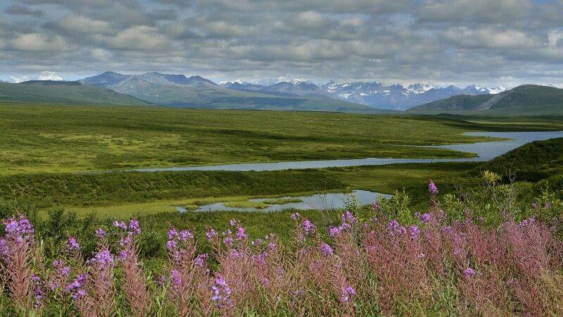 Blühende Wiesen im Denali NP © Diamir