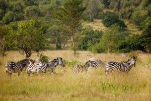 Zebras in der Savanne des Lake Mburo NP