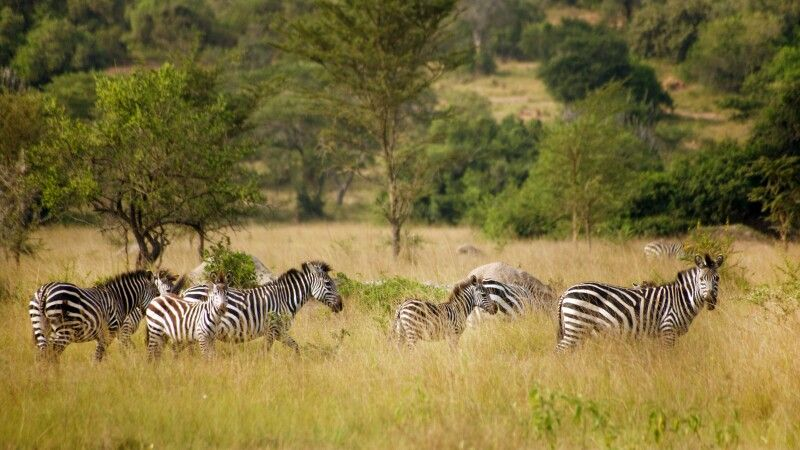 Zebras in der Savanne des Lake Mburo NP © Diamir