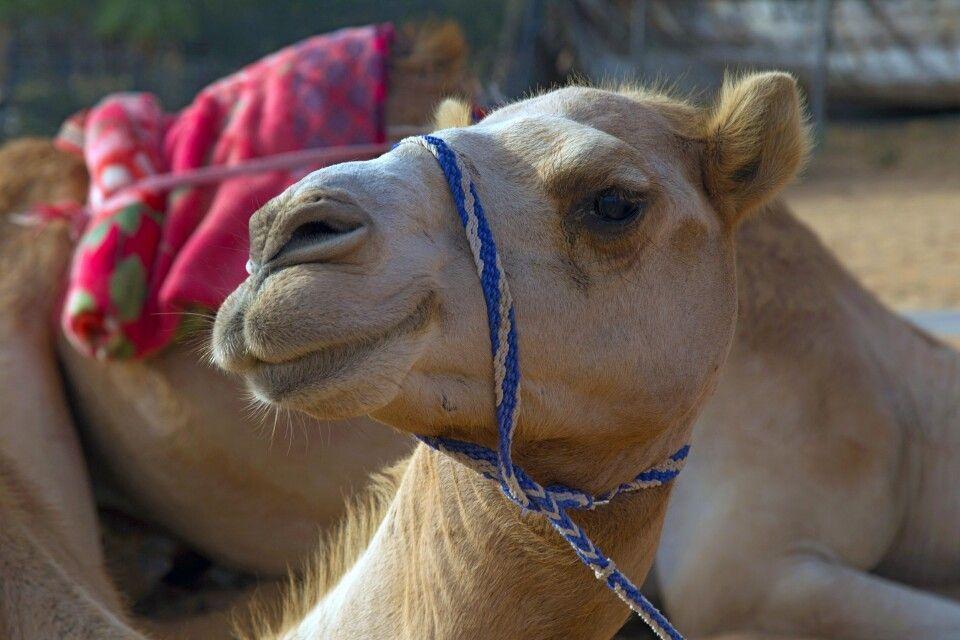 Portrait eines Kamels