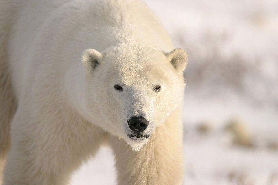 Schönes Eisbär-Porträt