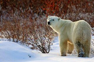 Eisbär im frisch gefallenen Schnee